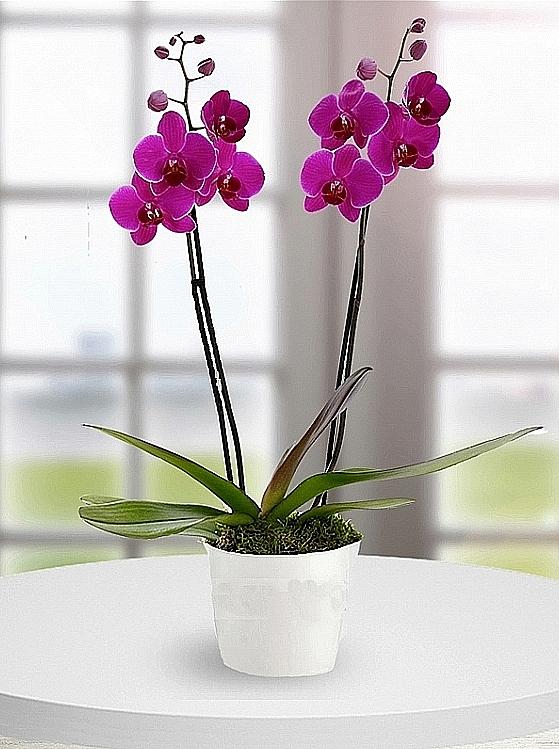 ikili mor Orkide